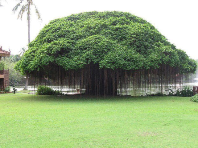 Image result for hinduism like a banyan tree images